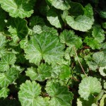 ユキノシタ葉