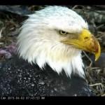 Harrison Bay Eagle Cam 201504022047JST