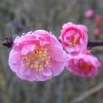 梅に雨20150309