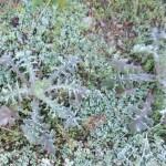 オニノゲシ (4)